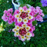 pinkberry lantana