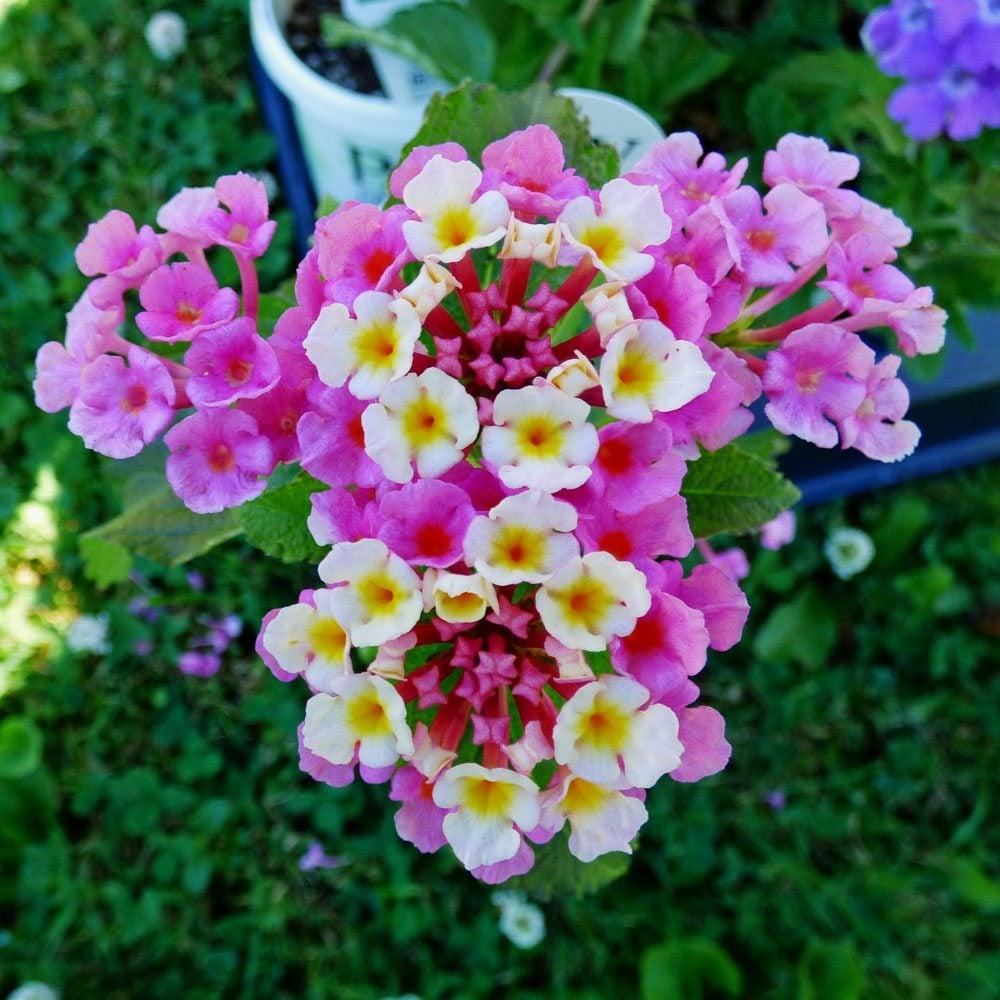 Different Lantana Plant Varieties Types Of Lantana For The Garden