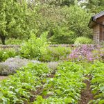 Summer vegetable garden with potato, rosemary, lavender, pink flowers and wooden shed, mature orchard in the background