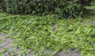 Guide To Pruning Yew Bushes Tips For Cutting Back Yews In The