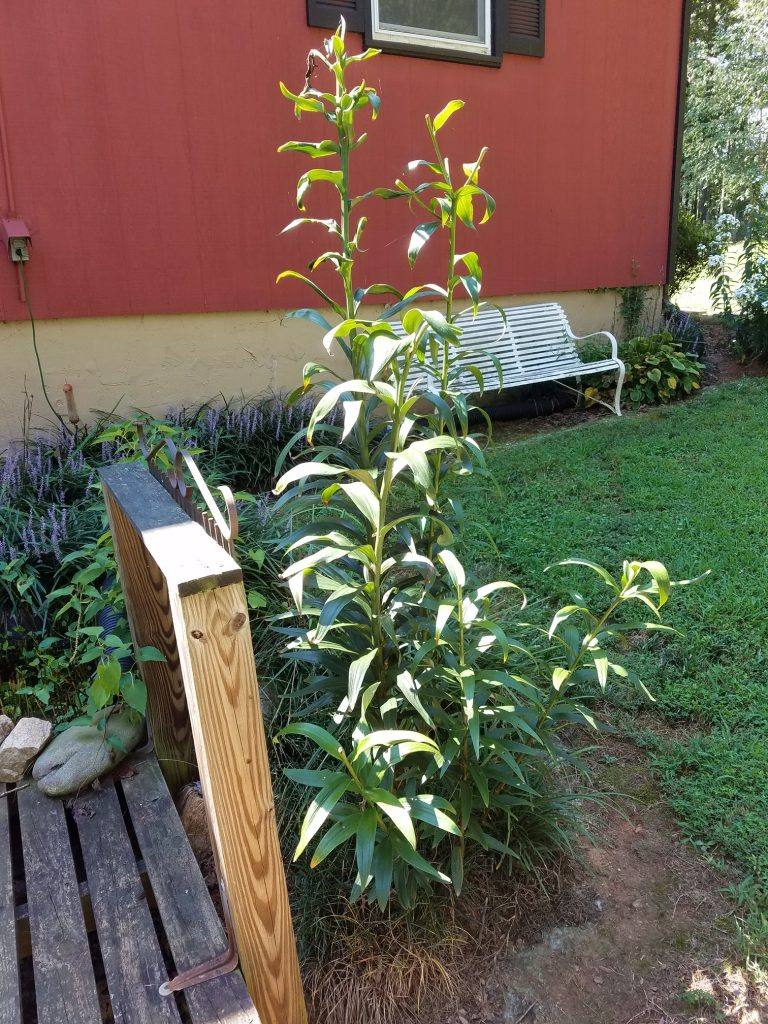Propagating Lilies By Division When And How To Divide Tree Lily Bulbs