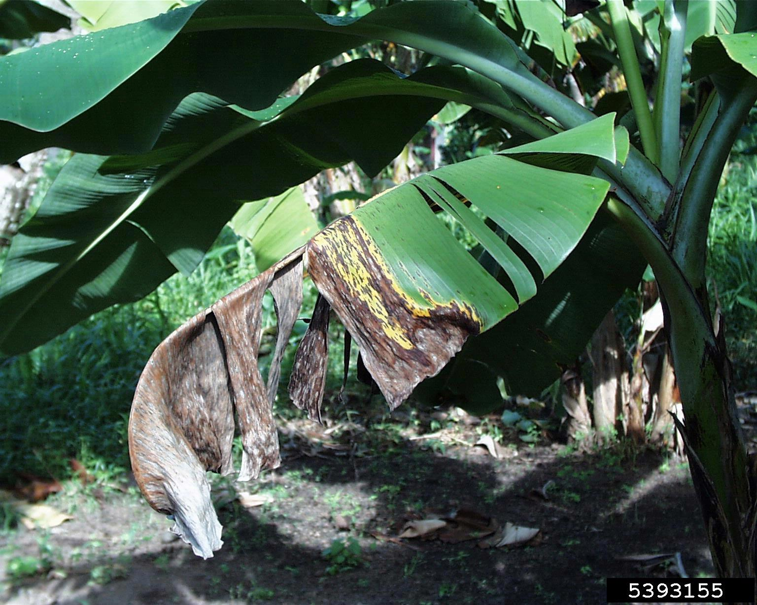 Banana Tree Problems What To Do About Banana Tree Insects And Diseases