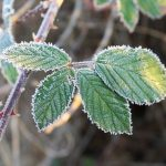Frost crystals on blackberry leaves on a frosty November morning in the Pacific Northwest.