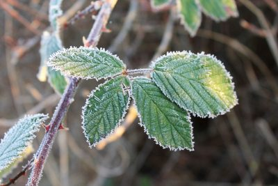 Blackberry Bushes In Winter How To Protect Plants