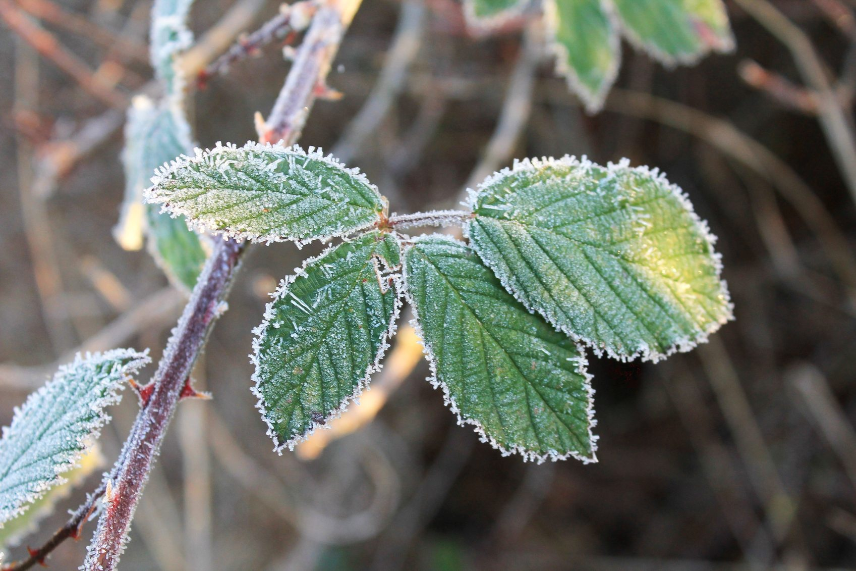 Garden Bush: Winterizing Blackberries: Blackberry Bush Winter Care In