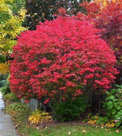 Transplanting A Burning Bush When To Move Bushes