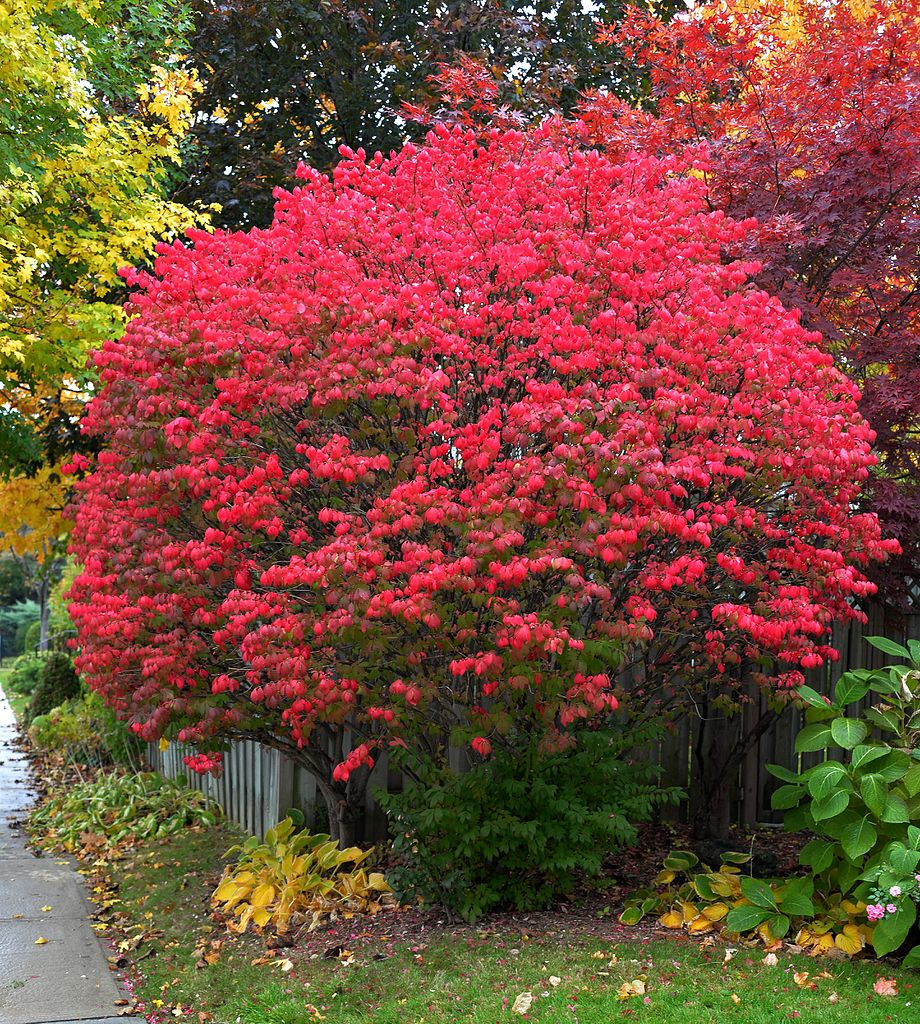 Transplanting A Burning Bush When To Move Burning Bushes