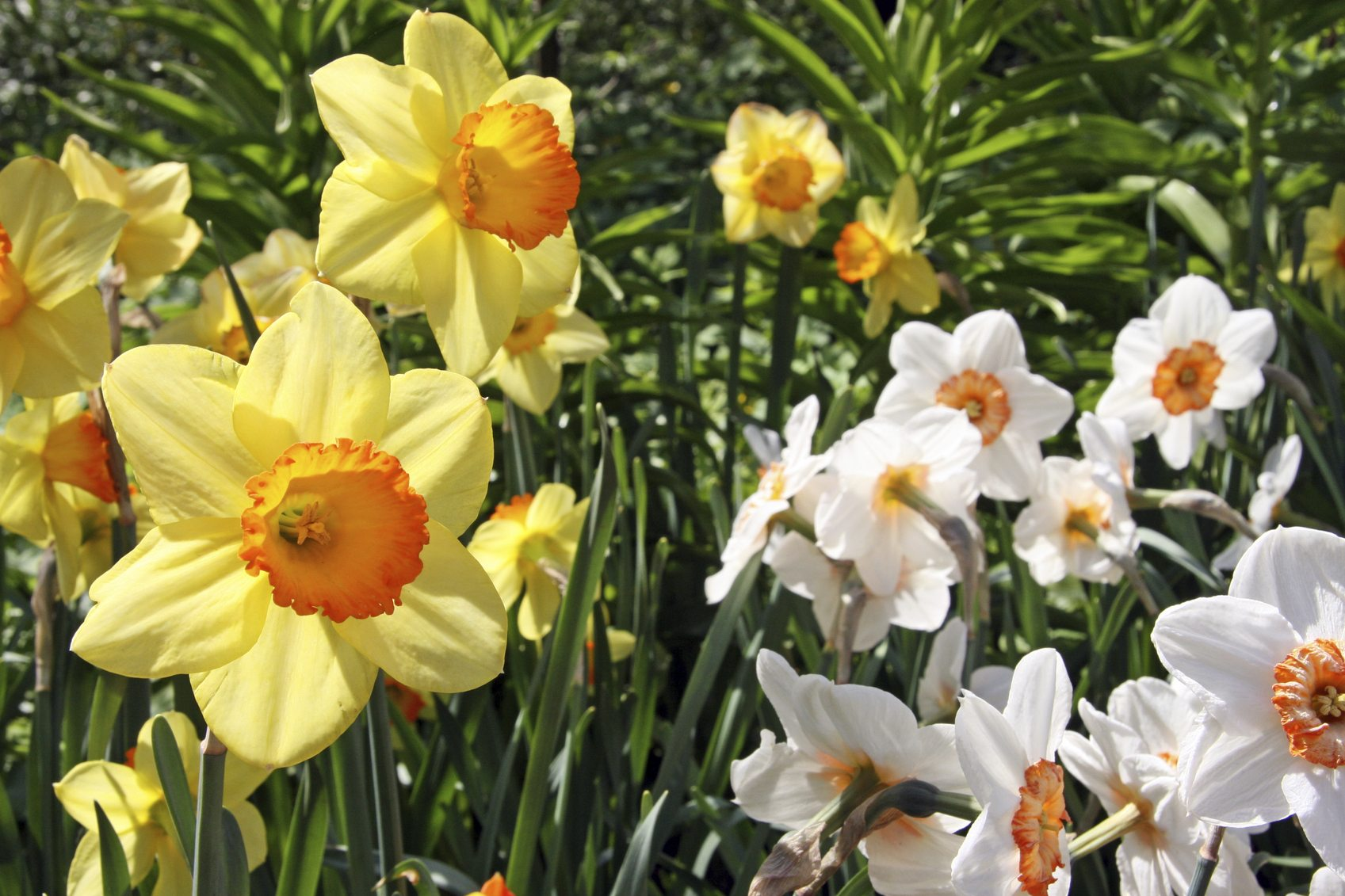 Daffodil Plant Facts What Are Some Different Types Of Daffodils