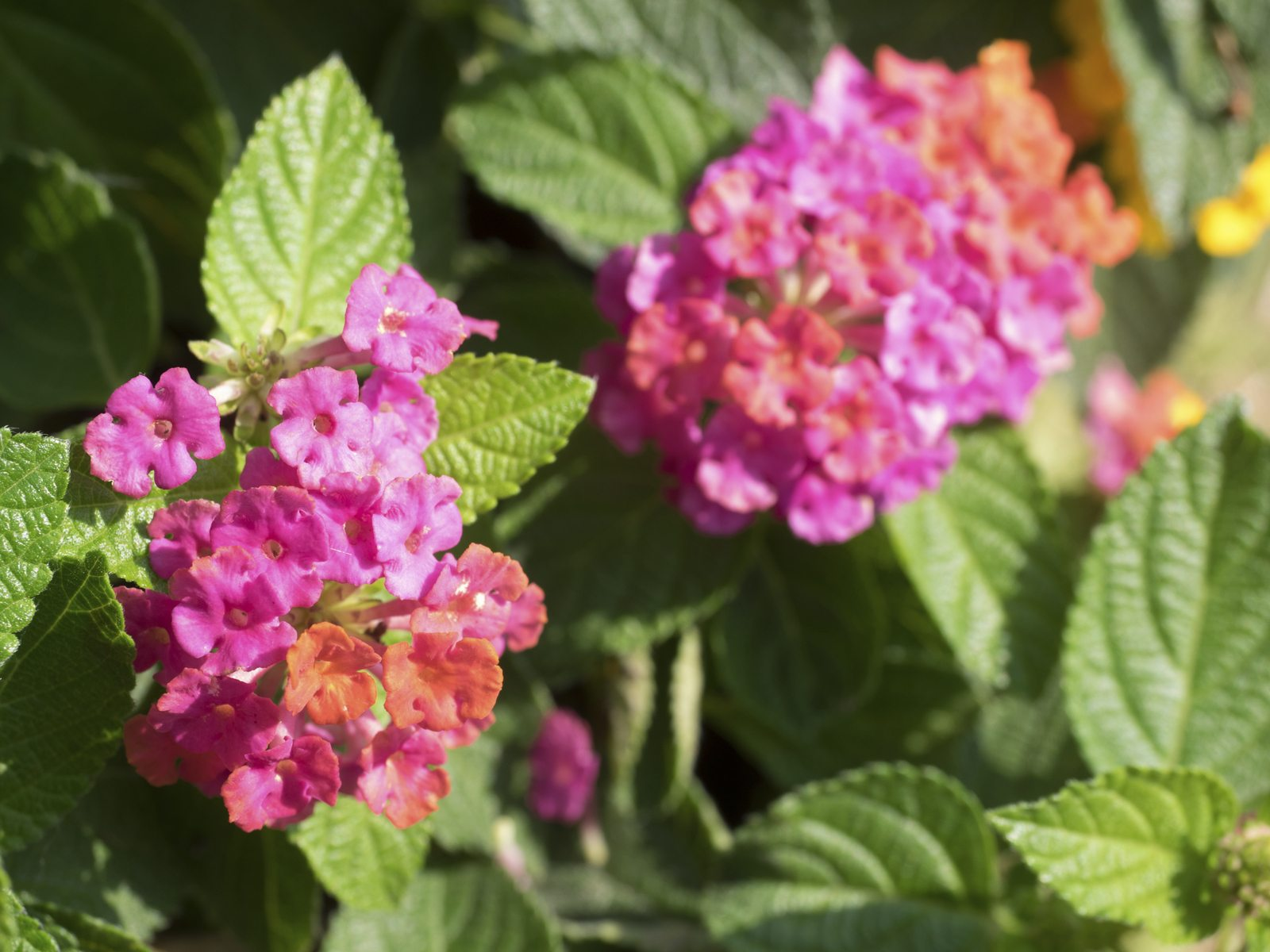 How Should I Fertilize Lantana When To Use Lantana Plant Fertilizer
