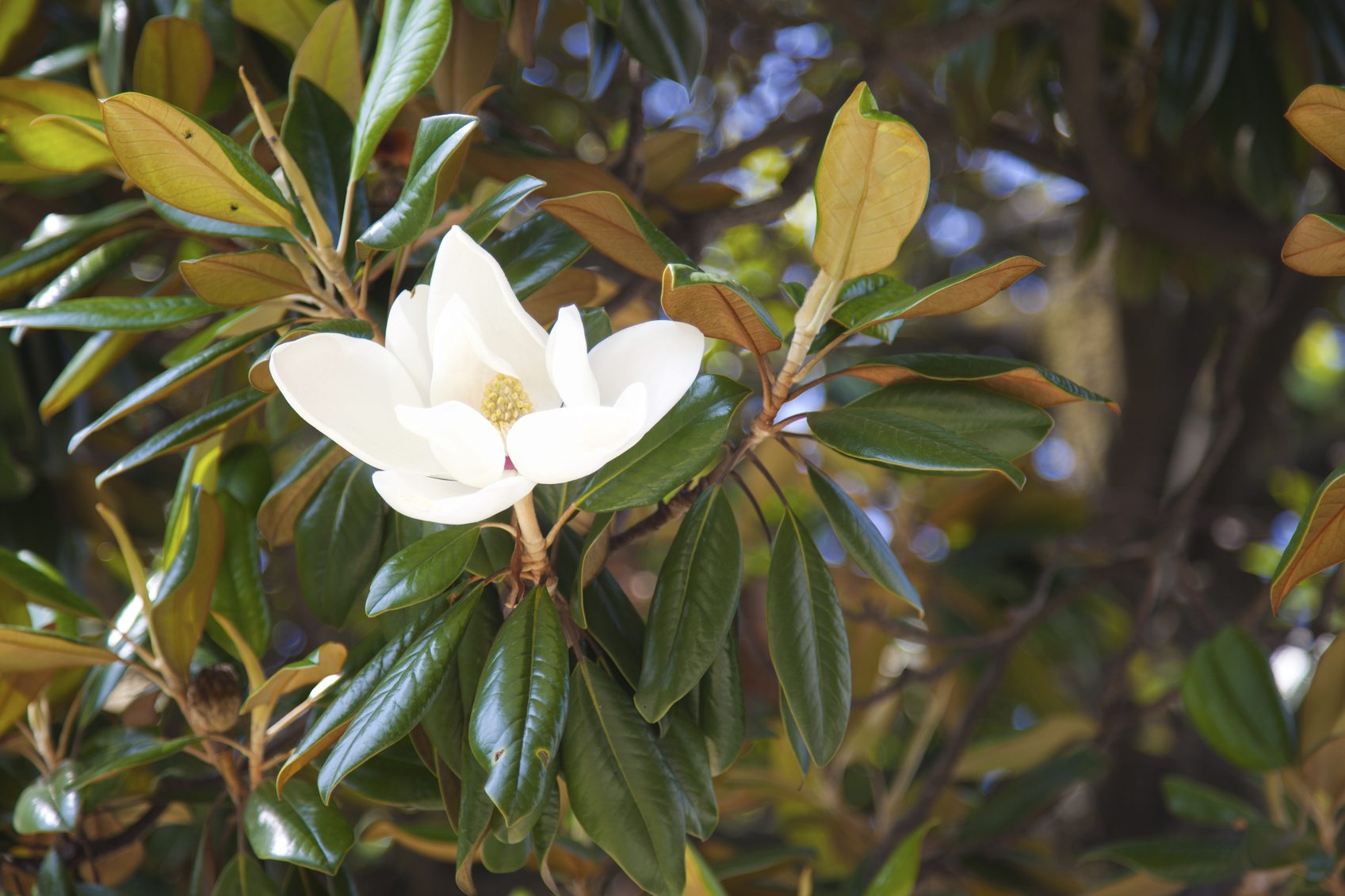 Magnolia Leaves Yellowing - Why Are Magnolia Leaves Turning Yellow ...