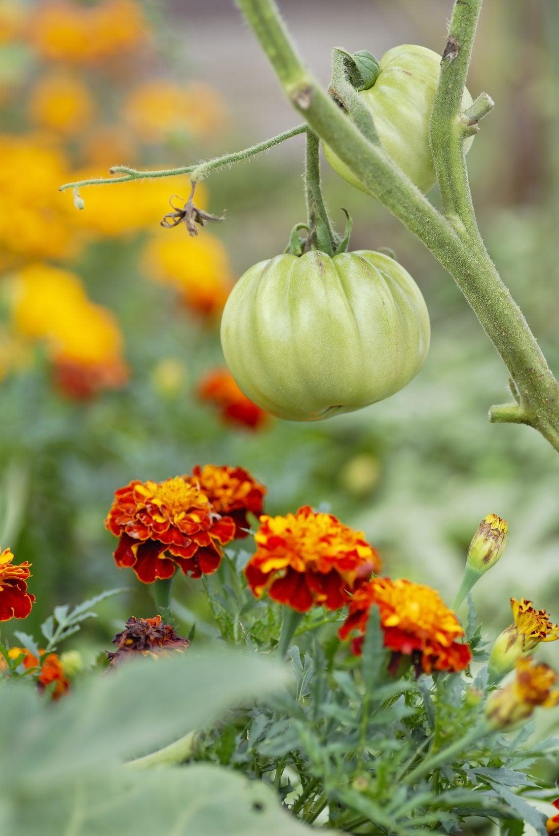 The Marigold Tarot Major Arcana The: Planting Marigolds With Tomatoes