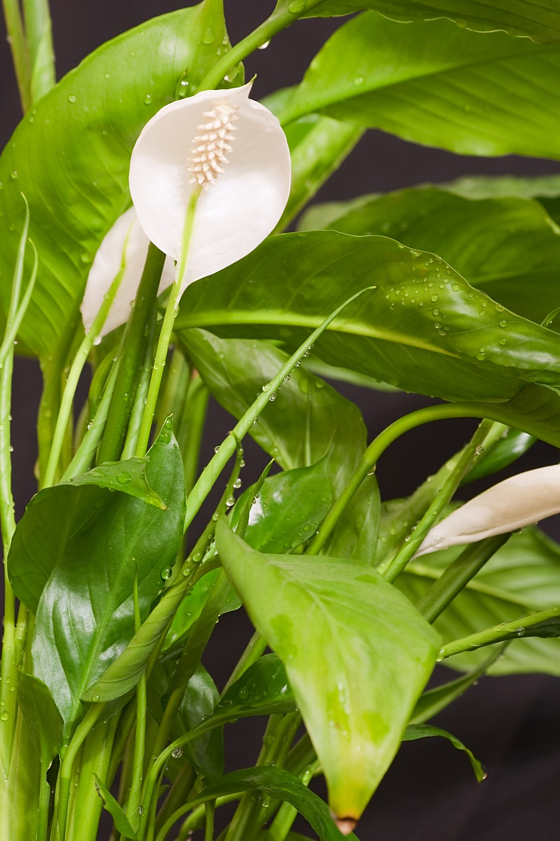 Peace lily watering tips what are peace lily watering requirements izmirmasajfo