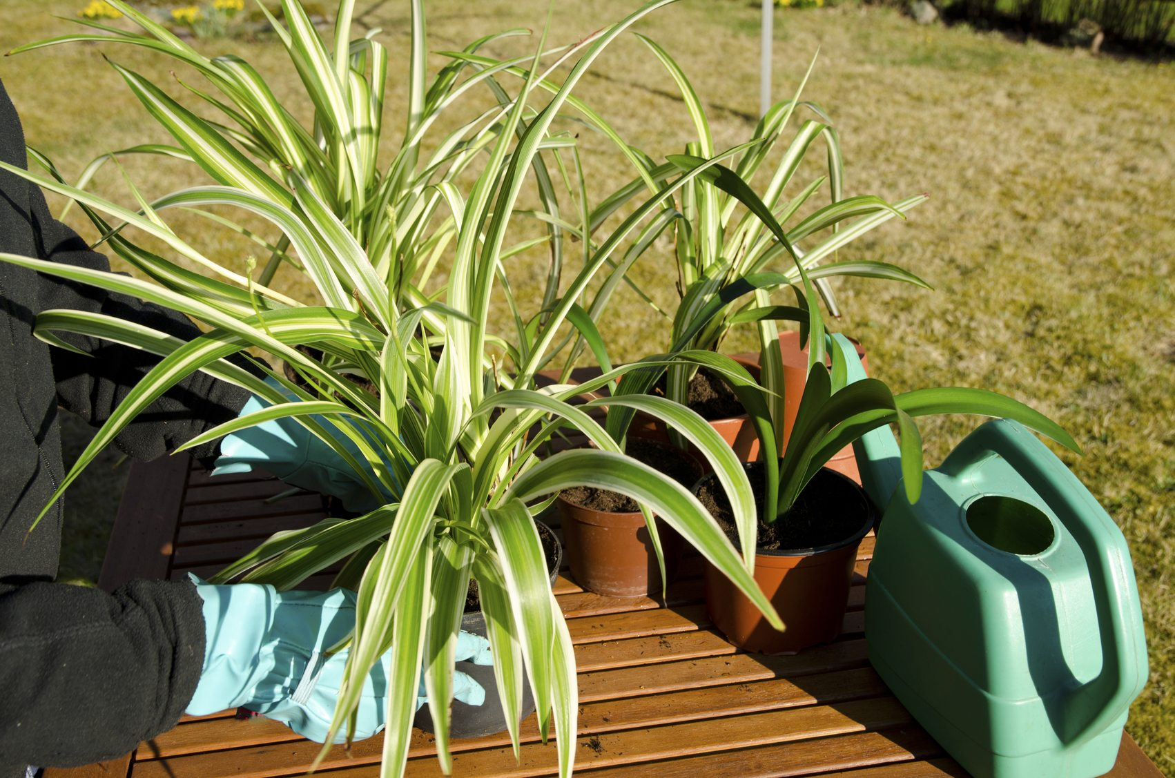Common Spider Plant Diseases Troubleshooting Spider
