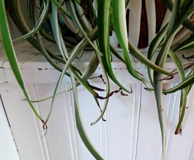 Why Are Spider Plant Leaves Turning Black Or Dark Brown