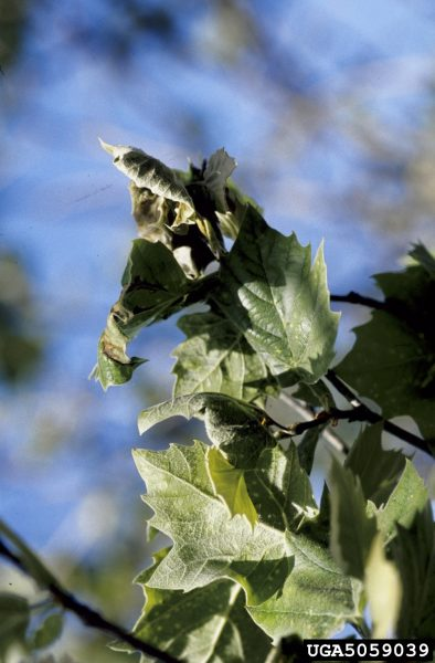 Common Problems With Sycamore Trees Learn About Sycamore