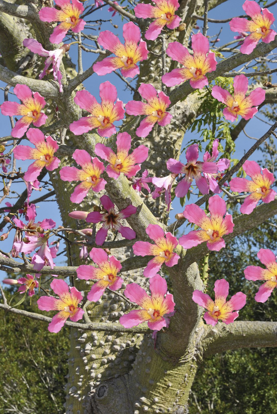 What Is A Toborochi Tree Learn About Toborichi Tree Growing