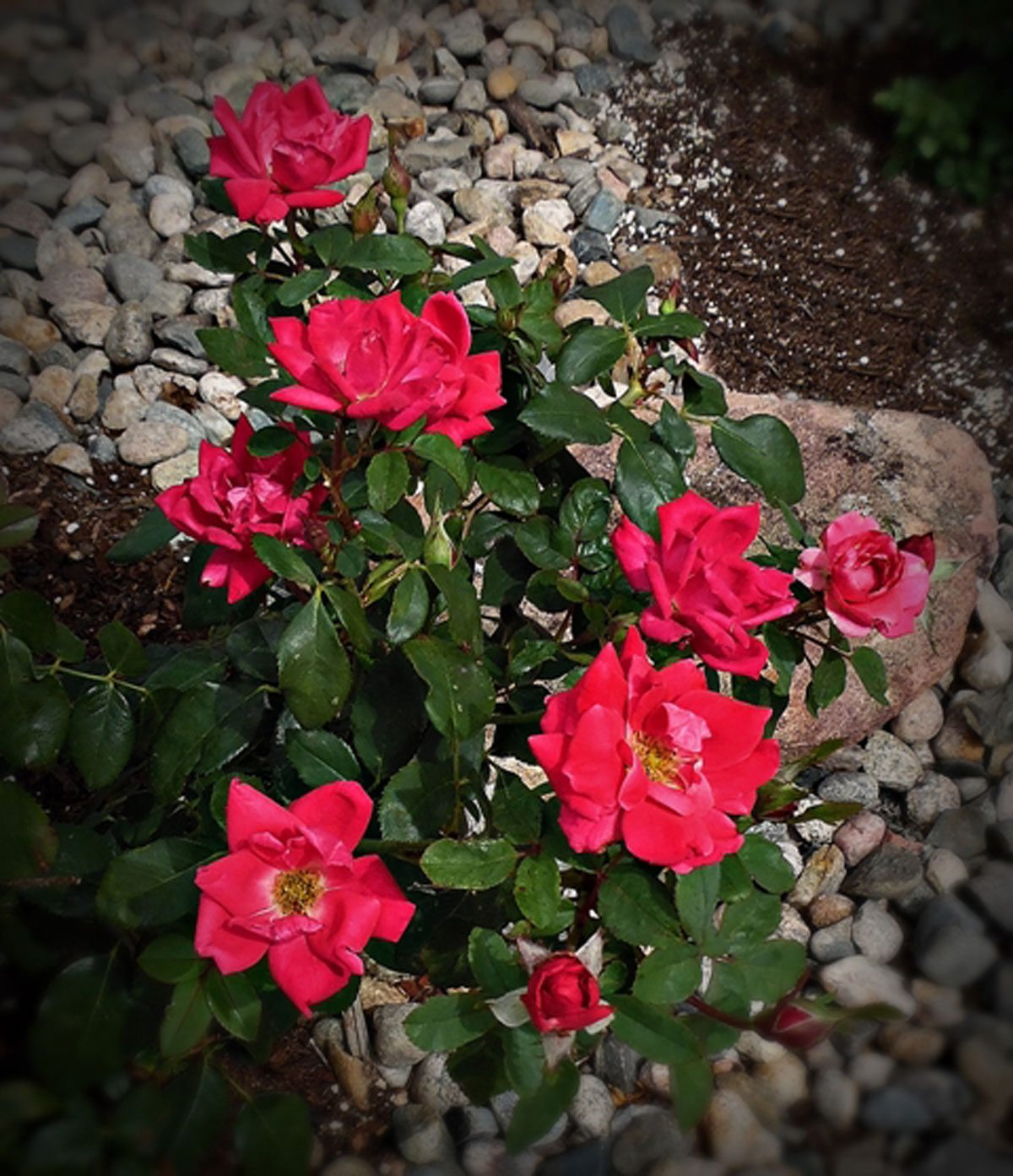 Roses In Garden: Knock Outs Not Blooming: Reasons For No Blooms On Knock