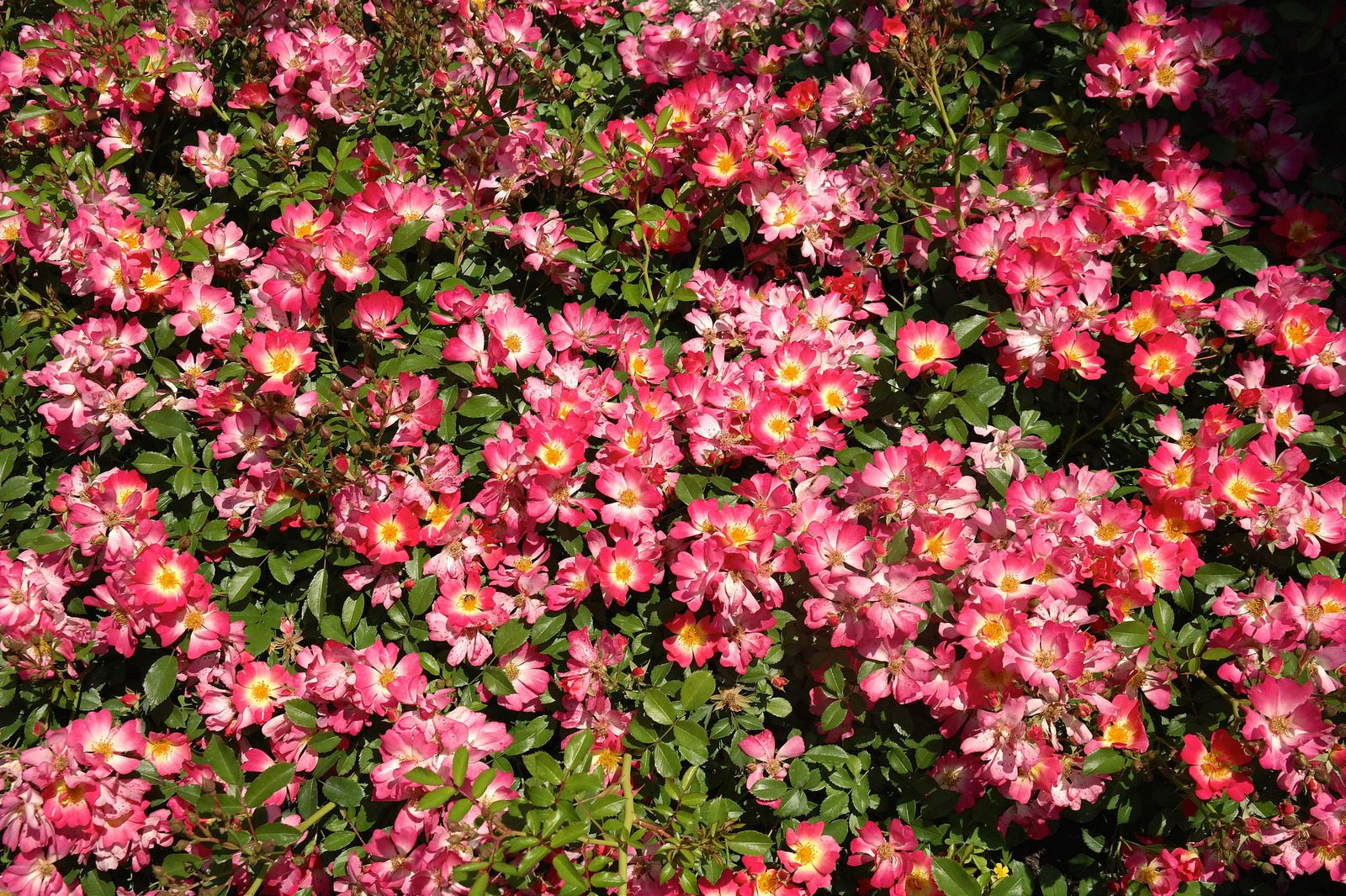 Companion Plants For Drift Roses Plants That Grow Well