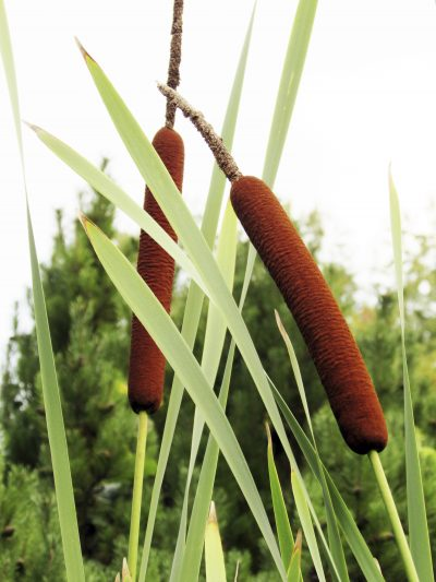 Edible Parts Of Cattail Plants What Parts Of Cattail Are Edible