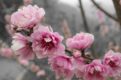 Ornamental peach trees do flowering ornamental peach trees bear fruit growing a flowering peach tree is an ornamental peach edible mightylinksfo