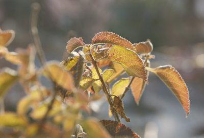 Overwintering Lantana Plants Caring For Lantanas Over Winter