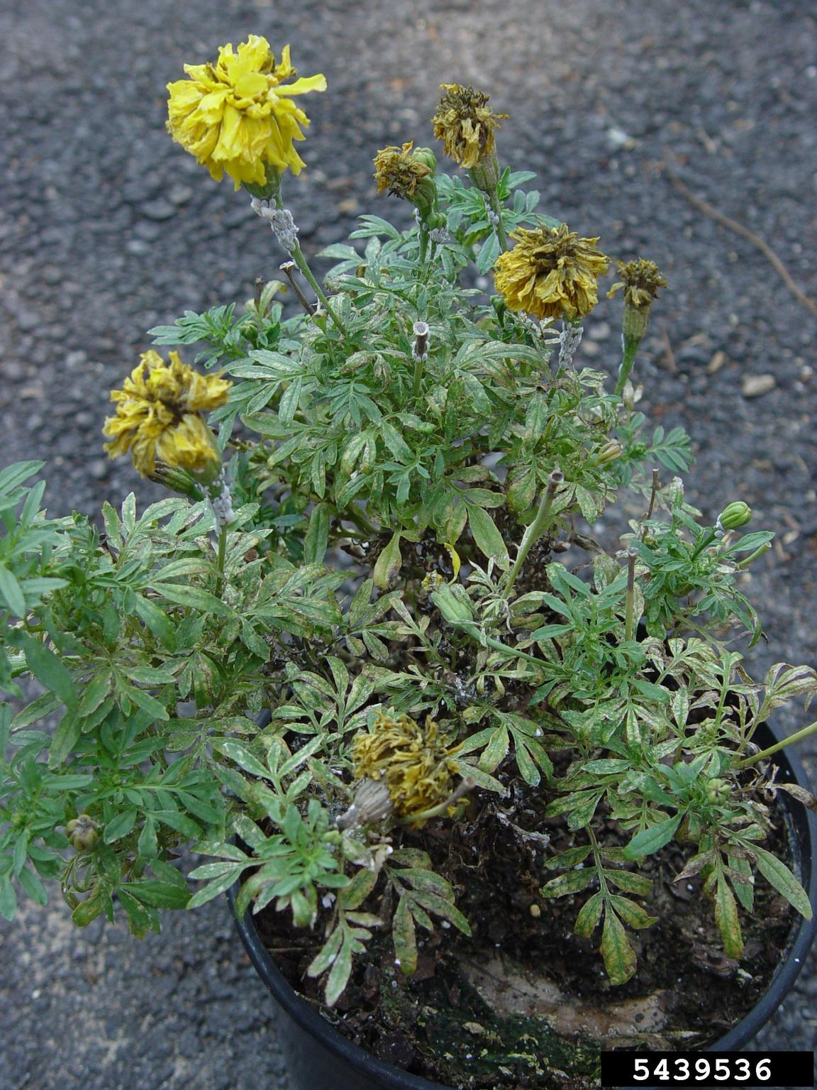 Yellow Leaves On Marigolds - Reasons Marigold Leaves Are ...