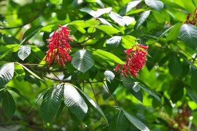 how to grow red buckeye tree