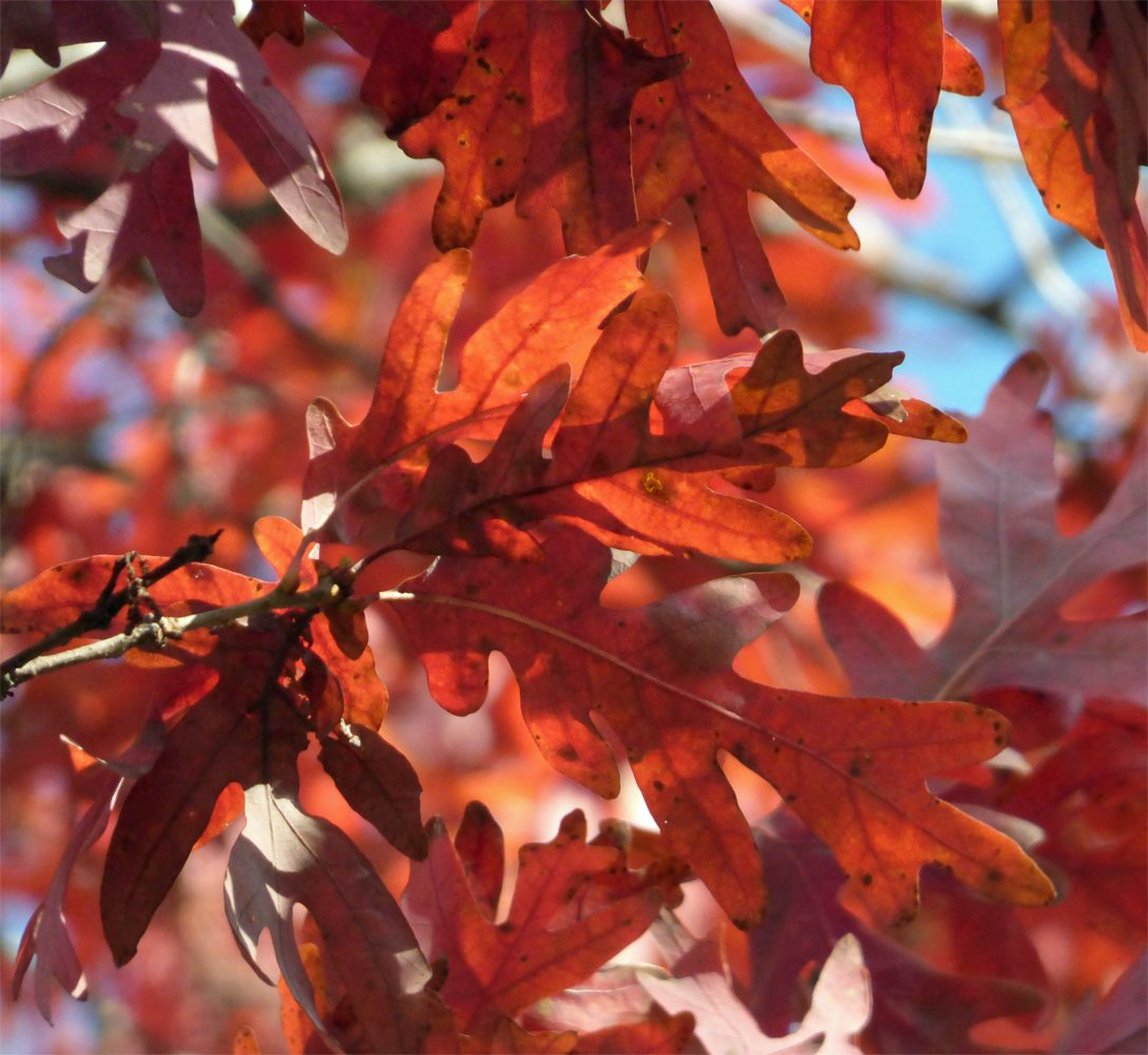 Red Colored Tree Leaves Types Of
