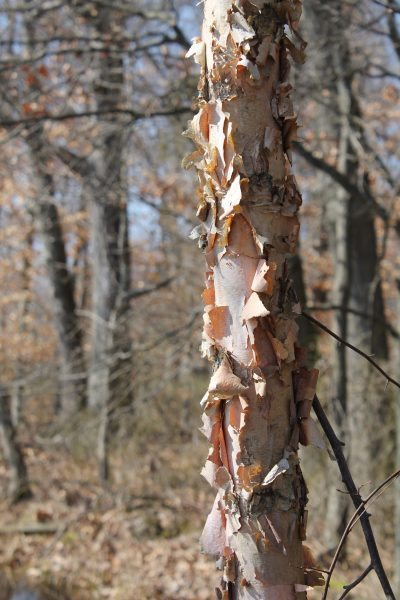 Information On Growing Okra And Harvesting Okra: Growing River Birch Trees In The