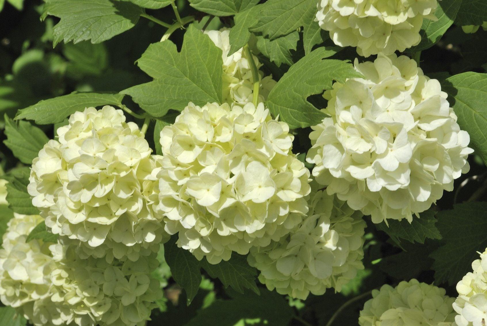 Snowball Viburnum Vs Hydrangea Learn