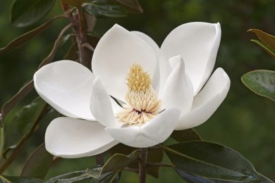 Southern Magnolia Facts Tips On Planting A Tree