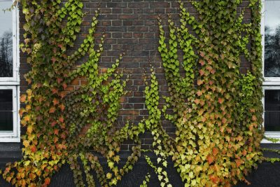Covering Brick Walls With Vines What Type Of Vine For A Wall