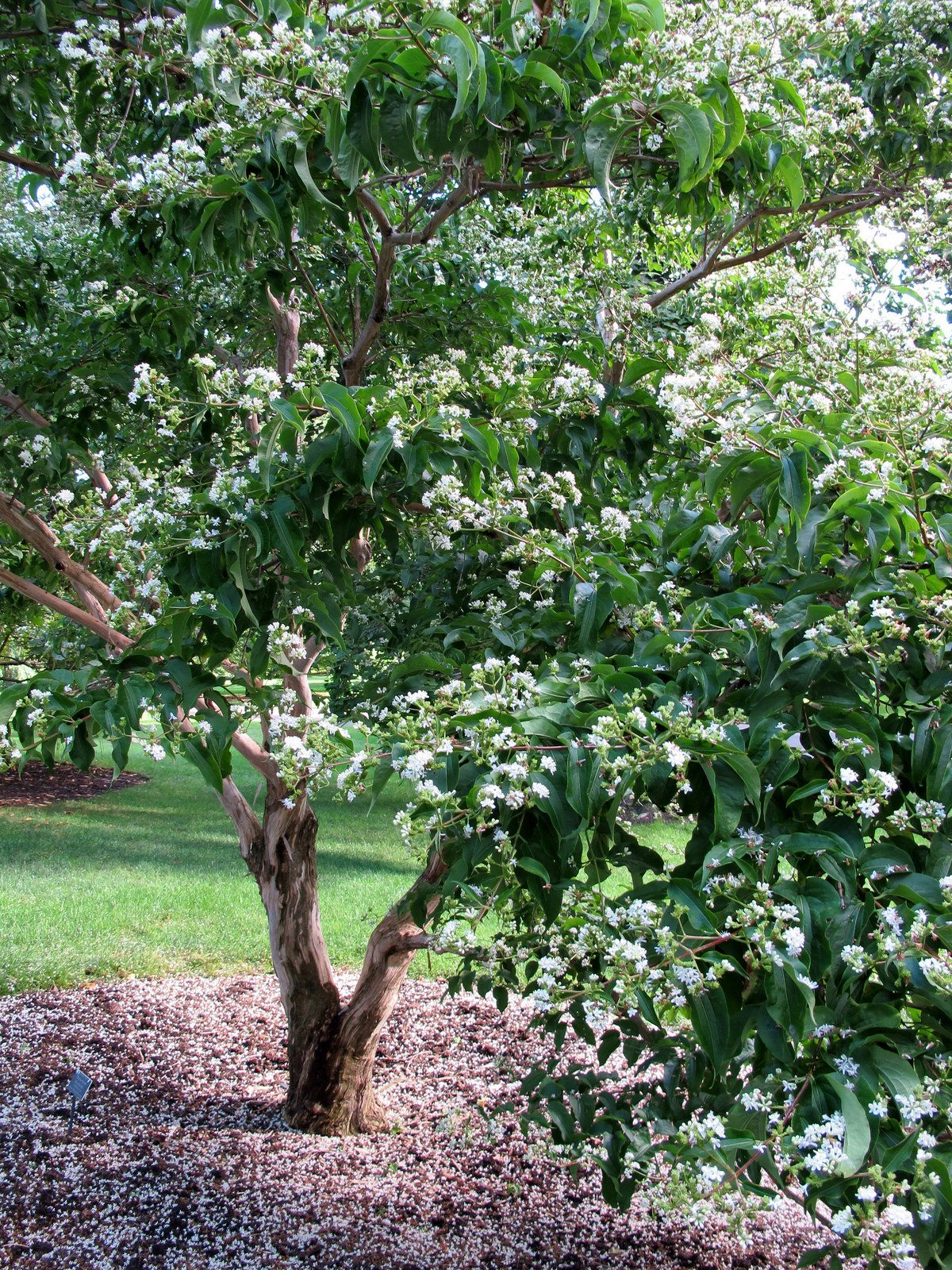 34 ideas for privacy in the garden with a decorative.htm choosing zone 3 ornamental trees learn about hardy dwarf  choosing zone 3 ornamental trees