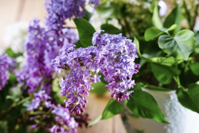 Container Grown Lilacs Learn How To Grow Lilac In A Pot