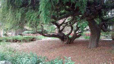 Guide To Weeping Hemlock Tree Care Tips On Planting A Weeping Hemlock