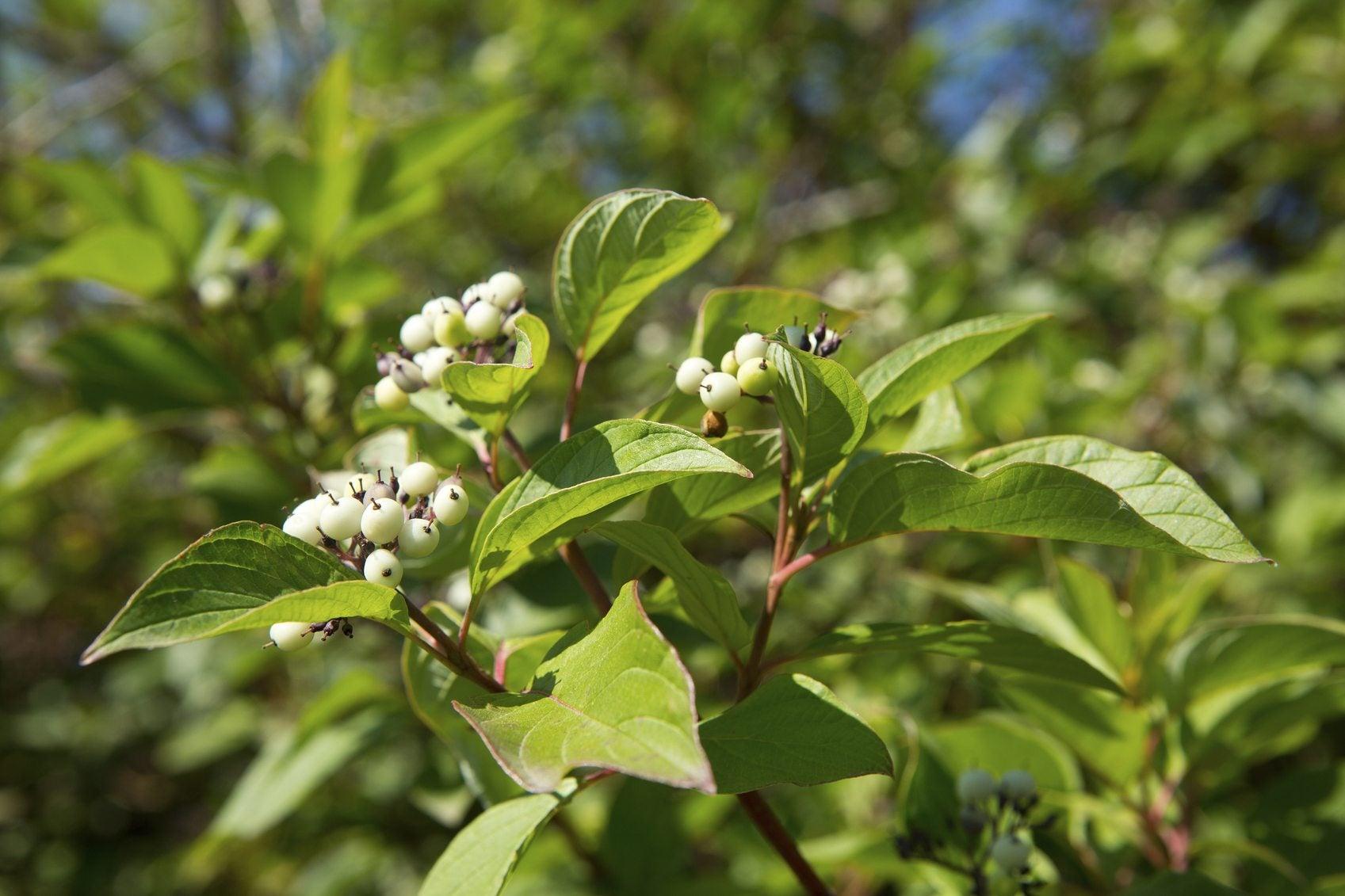 Shrubs That Bloom In Zone 3: Choosing Flowering Shrubs For