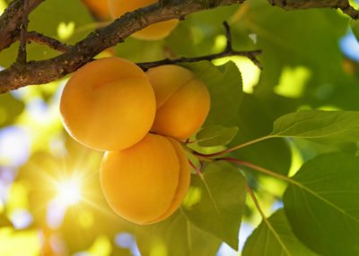 How Hardy Are Apricot Trees Tree Varieties For Zone 4 Gardens