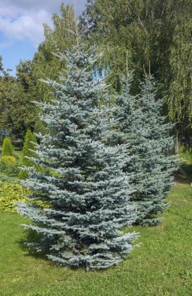 Beautiful Zone 4 Evergreen Trees: Choosing Evergreen Trees For Zone 4 Gardens
