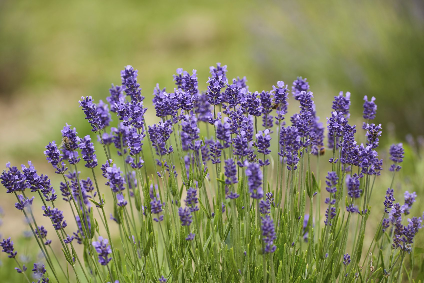 Zone 4 Lavender Plants Choosing Lavender Varieties For Cold Climates
