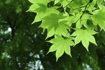Cold Hardy Maple Trees Tips On Growing Maple Trees In Zone 4