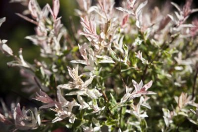 Bushes That Grow In Zone 4 Growing Shrubs Gardens