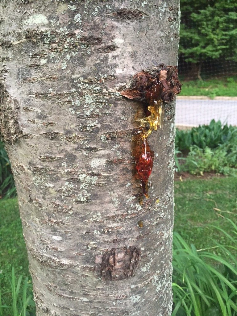 Bacterial Canker Of Cherry Learn About Bacterial Canker On Cherry Trees