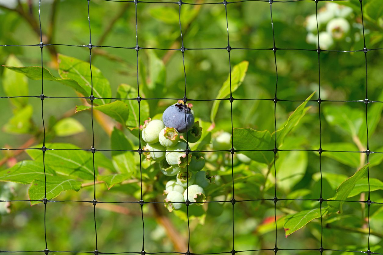 Protecting Blueberry Plants From Birds Ways To Protect