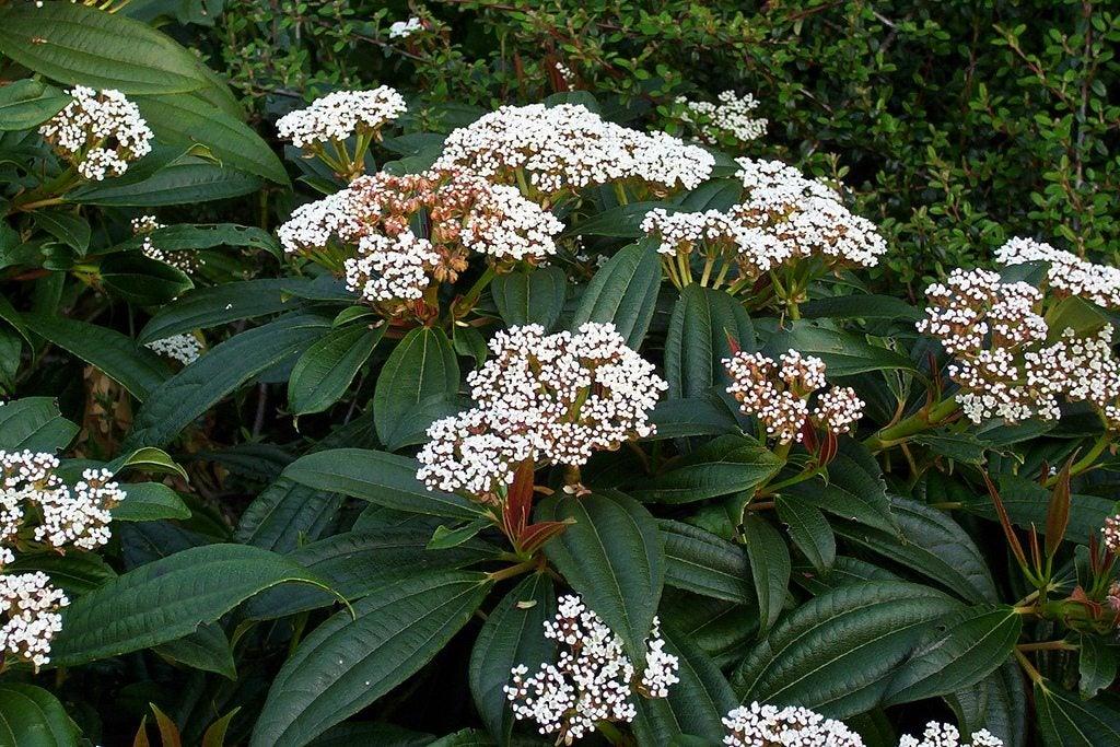 Picture of Live American Arborvitae aka Thuja occidentalis 'Rheingold' Plant Fit 5 Gallon Pot
