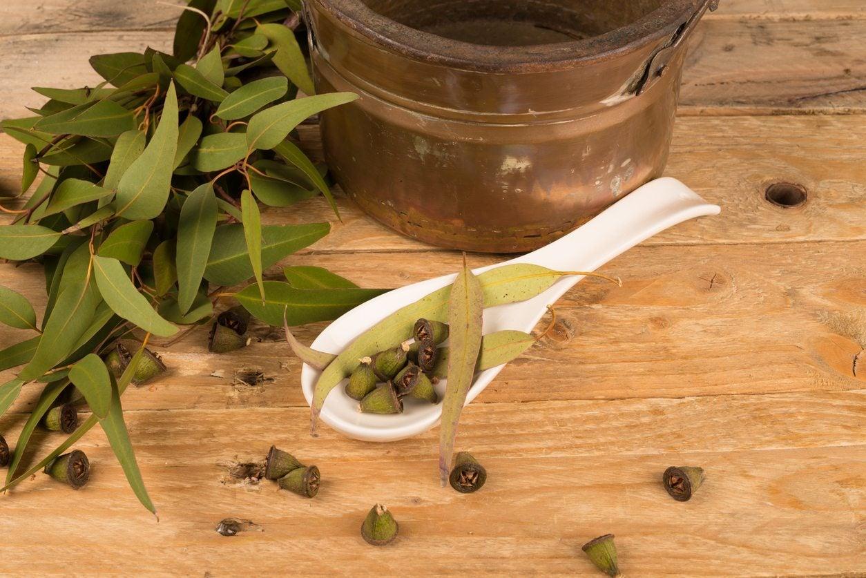 Herbal Eucalyptus Benefits How To Grow Eucalyptus As An Herb