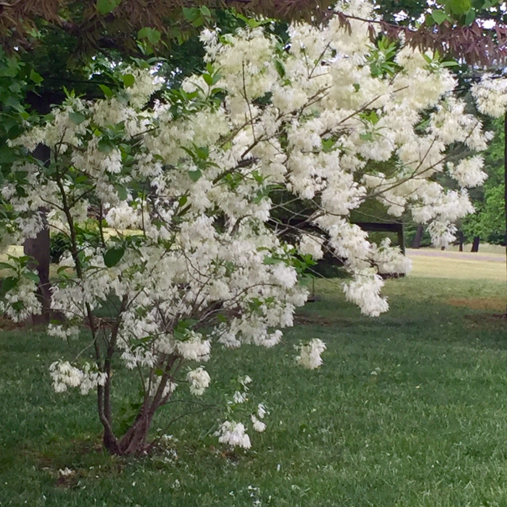 Tips On Planting A Fringe Tree In The