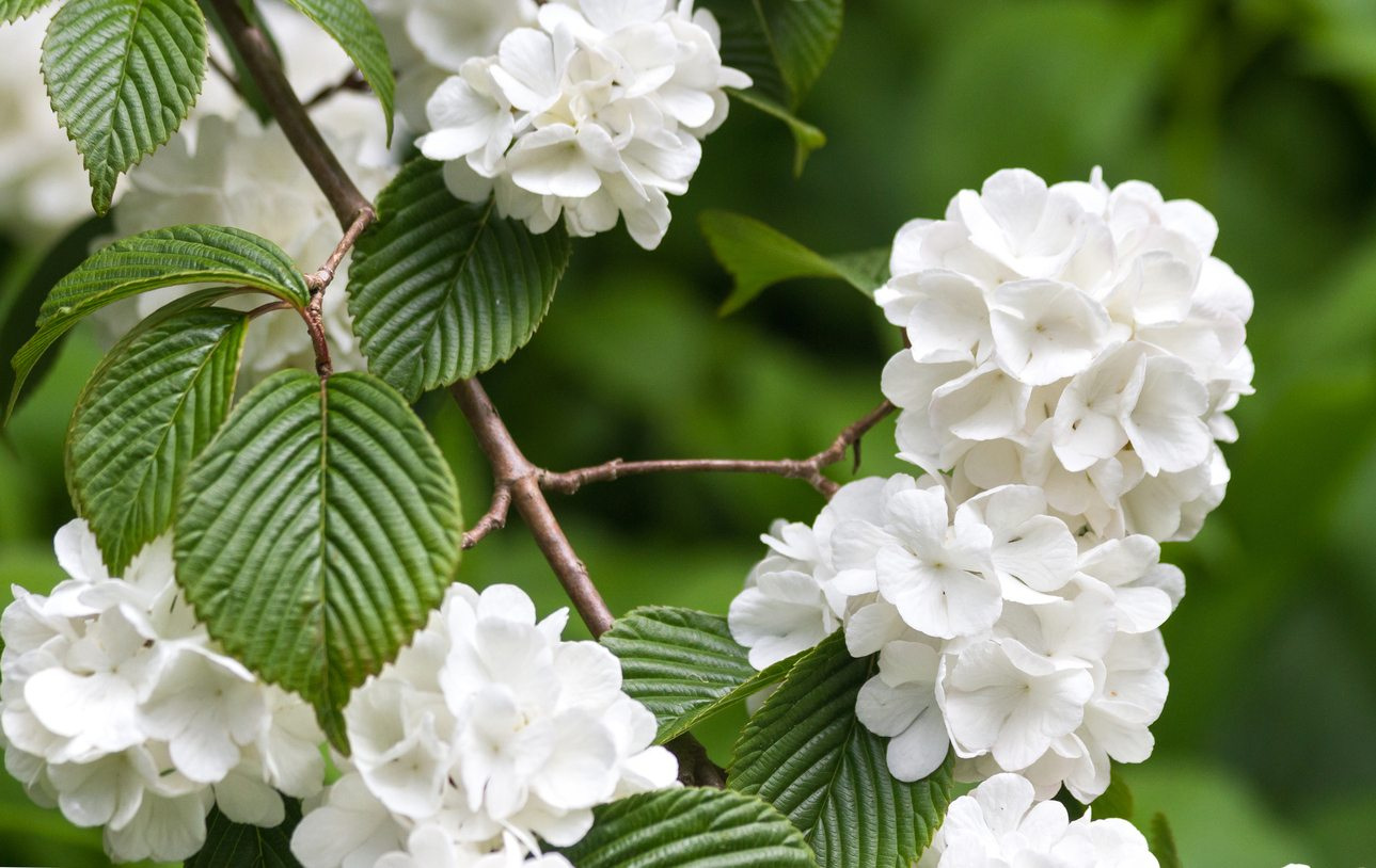 Japanese Snowball Information - How To Plant A Japanese ... - photo#1