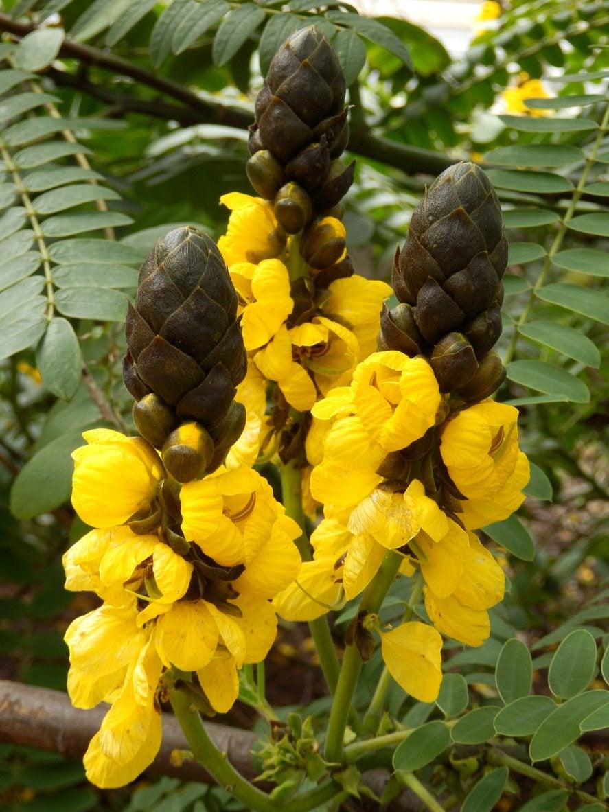 Popcorn Cassia Care Tips On Growing Popcorn Cassia Plants