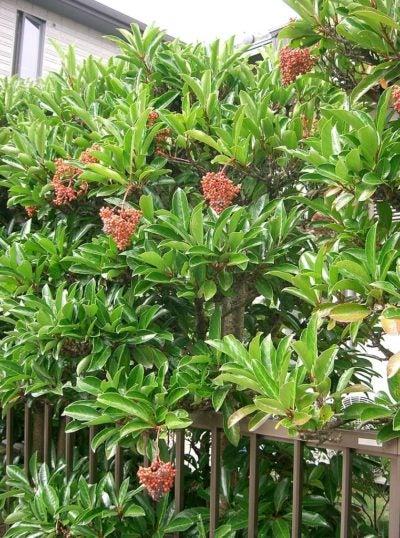 Viburnum Articles Gardening Know How
