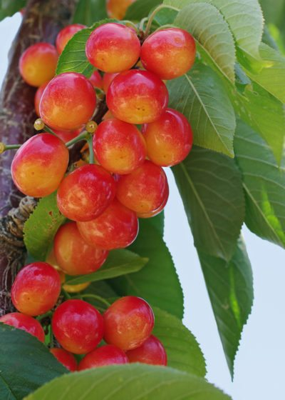 Zone 4 Cherry Trees Choosing And Growing Cherries In Cold Climates